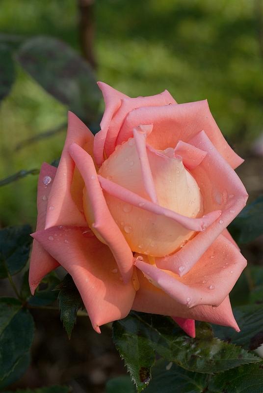 Rennes en fleurs-La rose parc du Thabor